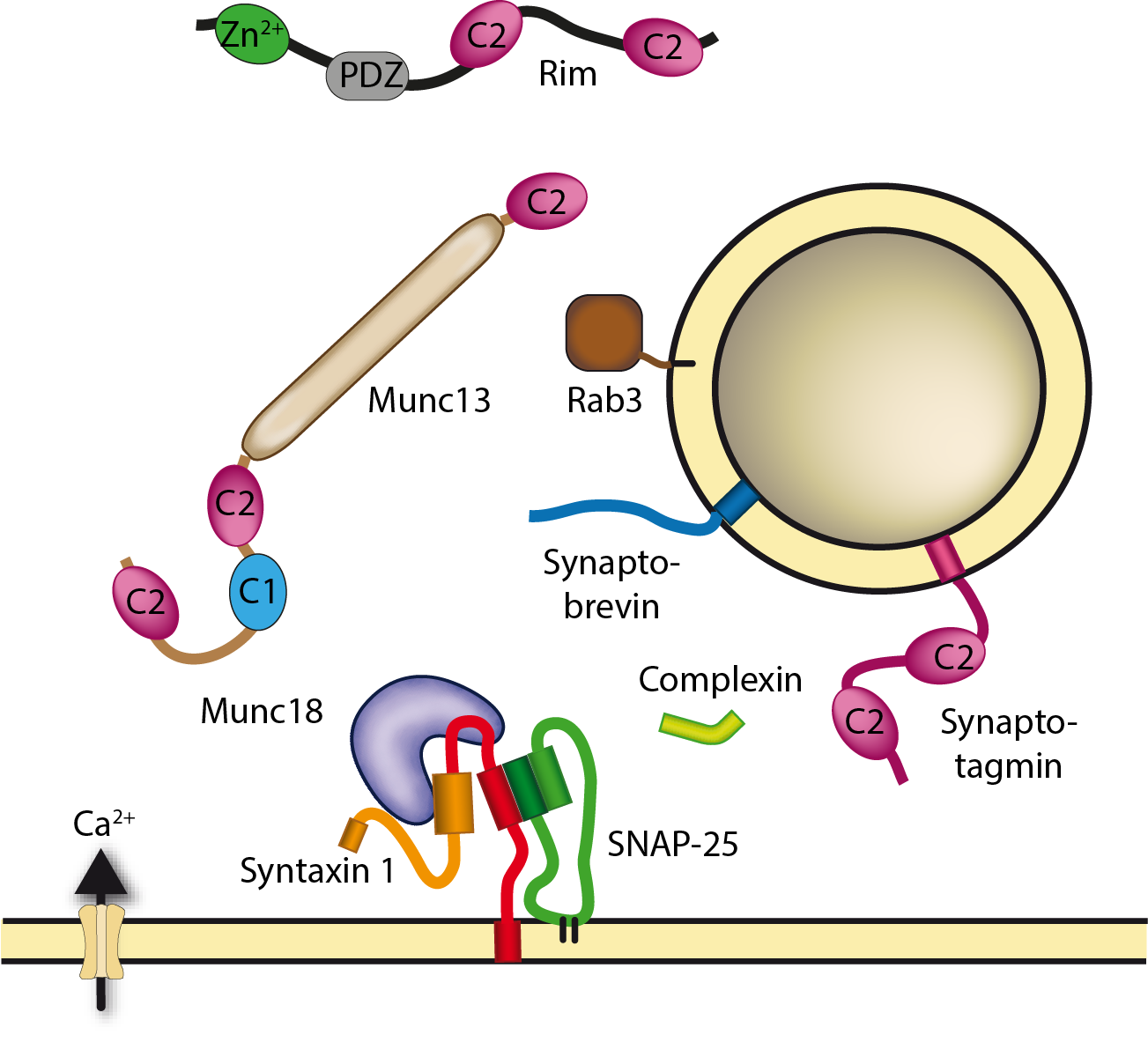 Molecular mechanisms of neuronal secretion